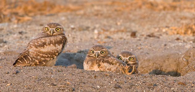Male and two owl chicks at nest