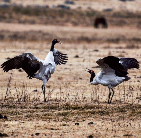 Dance of the Blackneck Cranes thumbnail