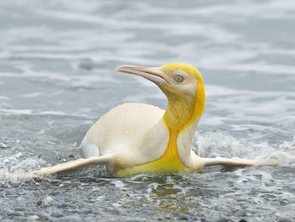 A king penguin with yellow plumage is seen swiming towards the camera