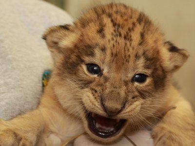 One of the National Zoo's new lion cubs, born this spring.