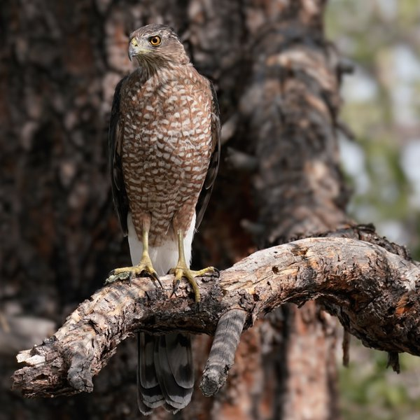 A Coopers Hawk Perched on a Large Pine Branch thumbnail