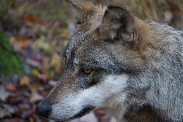 Zephyr the Wolf thumbnail