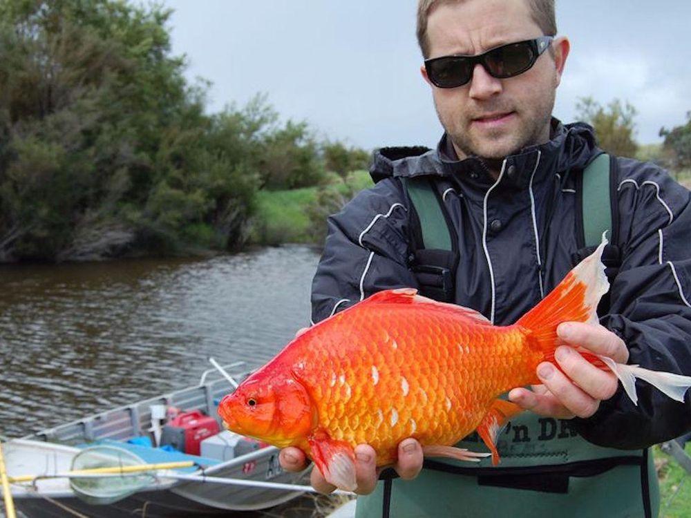 Really Big Goldfish