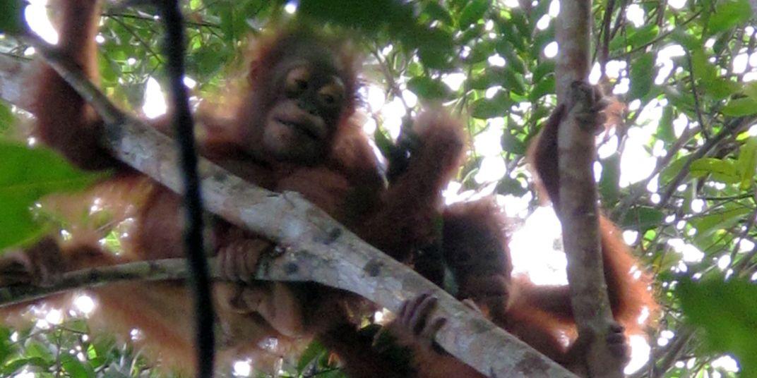 Orangutan juveniles Ketambe and Merkur party in the treetops