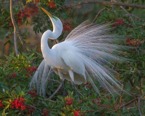 A Snowy White Egret Display thumbnail