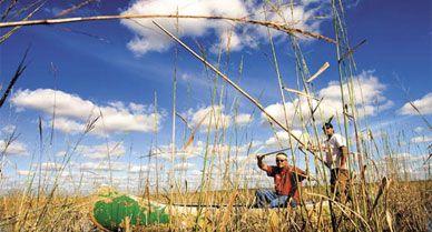 Ojibwa tribe members gather 50,000 pounds of wild rice