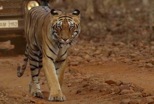 Tiger's walk thumbnail