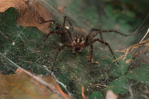 Male Grass Spider thumbnail
