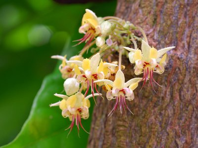 You can thank these <em>Theobroma cacao</em> flowers for your brownie sundae.