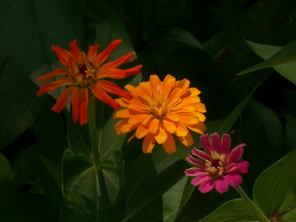 3 Zinnias and in a Sea of Green thumbnail