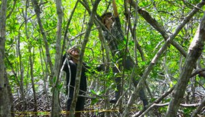 Mangroves of Mesoamerica Will Start Getting Report Cards