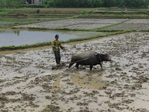 A man and a water buffalo in a rice field. thumbnail