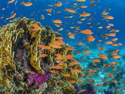 Orange scalefin anthias fish swarm in front of a fire coral in the Red Sea's Ras Mohammed Marine Park, Egypt.
