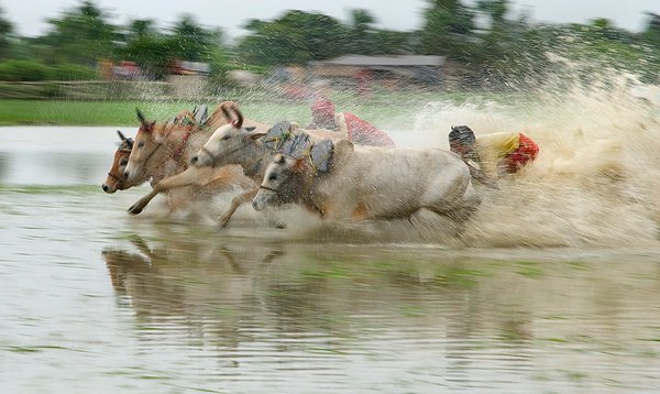 This is a scene of cow race thumbnail