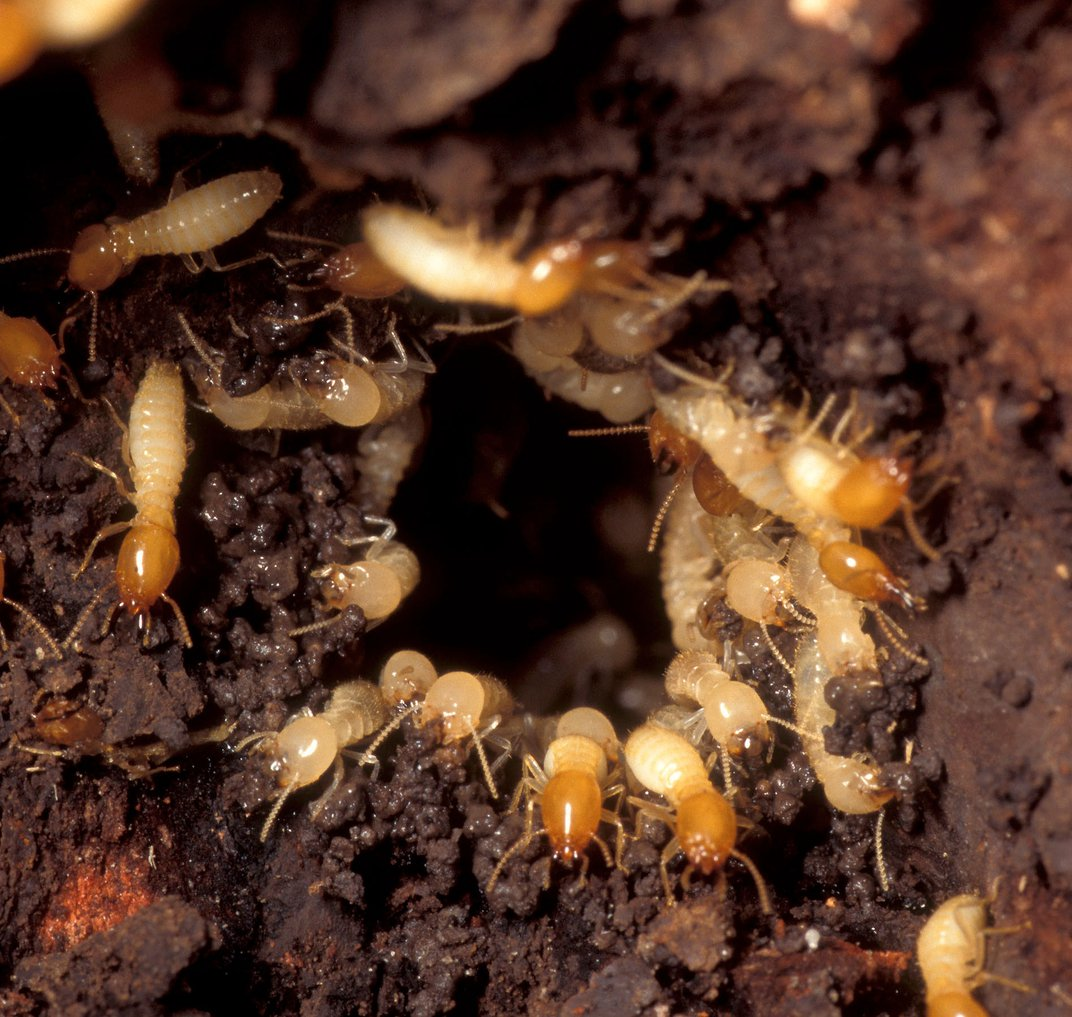 All-Female Termite Colonies Reproduce Without Male Input