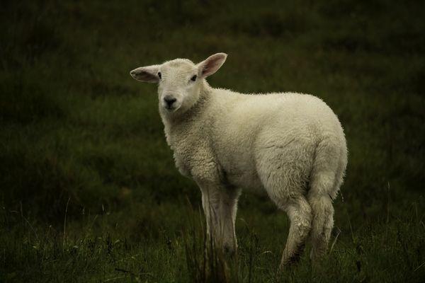 Cutest lamb  thumbnail