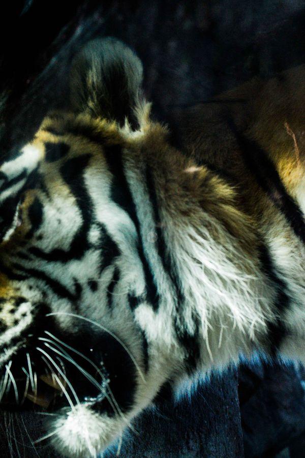 Zoo tiger, pacing thumbnail