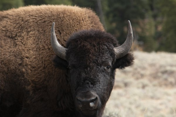 Bison in Yellowstone thumbnail