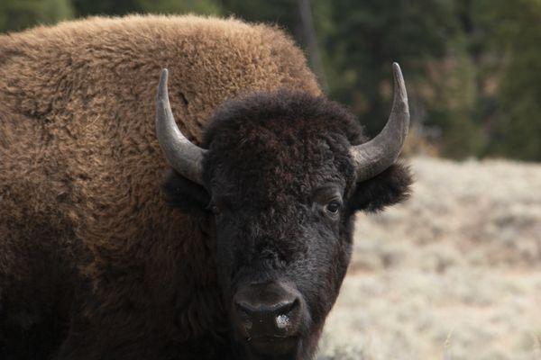 Bison in Yellowstone thumbnail