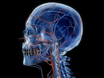 Blood vessels of the neck and head