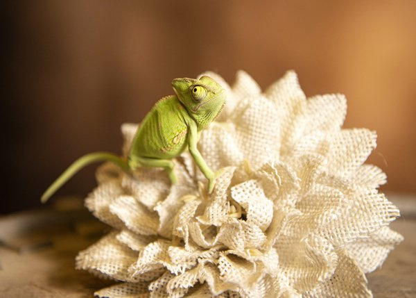 Chameleon on the flower thumbnail