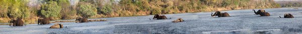 Elephants crossing Chobe River thumbnail