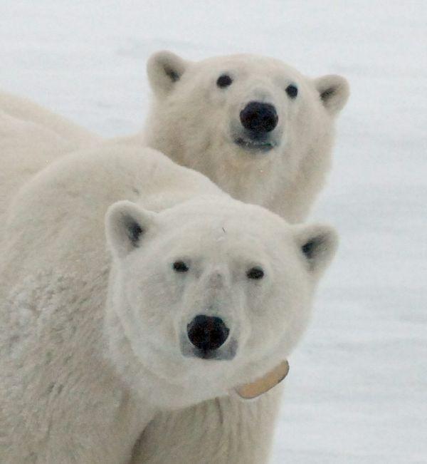 Polar Bear Buddies thumbnail