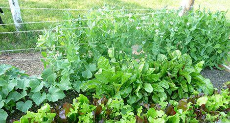 The author's vegetable garden