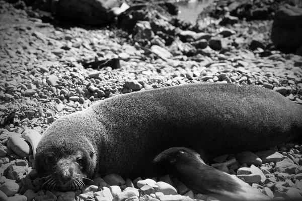 Resting Fur Seal thumbnail