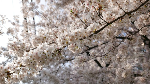 cherry blossoms in jeju thumbnail