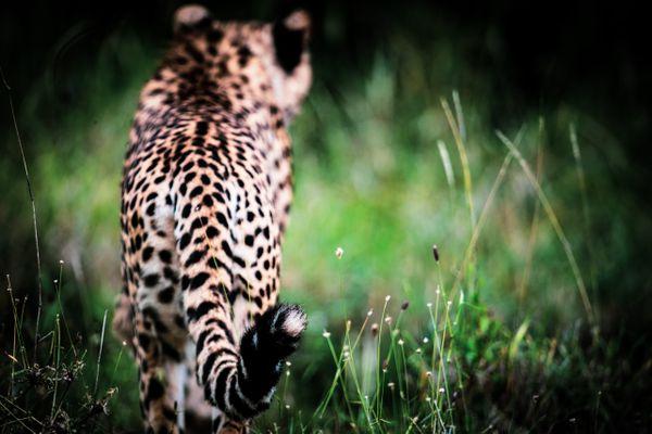 Tail Point Of the Cheetah thumbnail