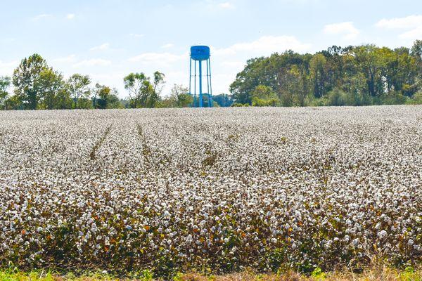 Cotton field in Alabama thumbnail