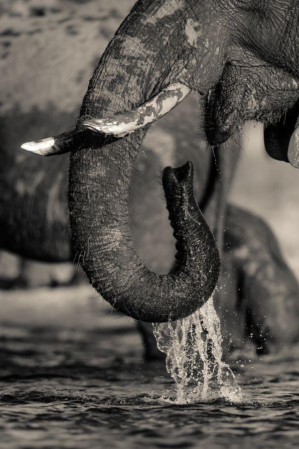 Drinking Elephant thumbnail