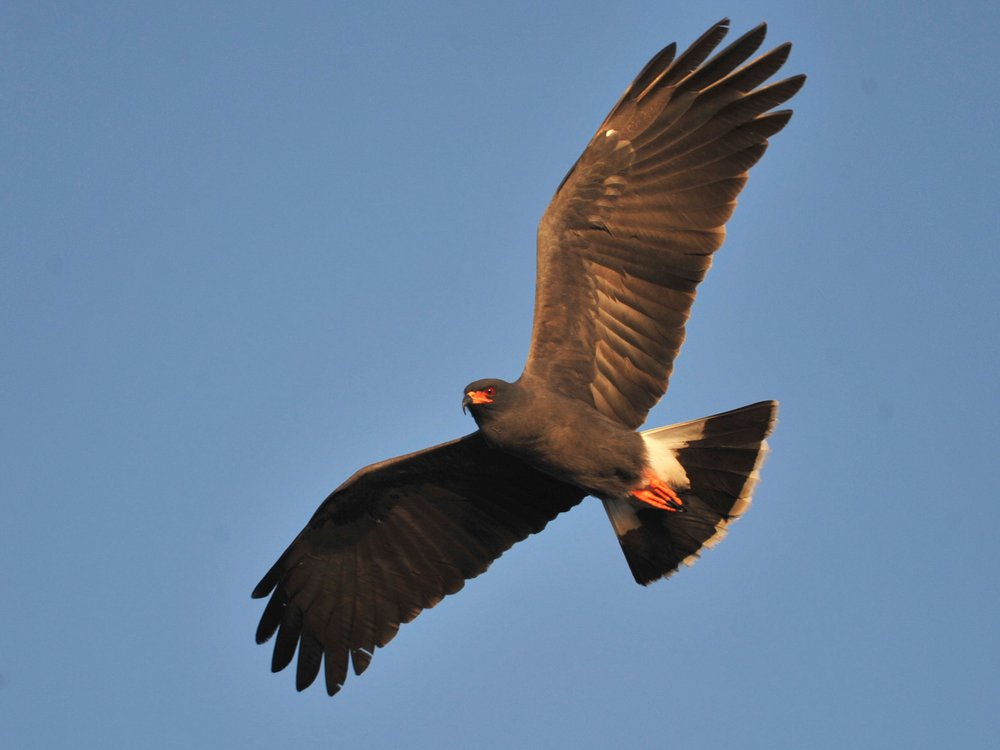 Snail kites' migratory behavior may be driven primarily by precipitation, as the species feeds mainly on Apple snails, which in turn rely on persistent bodies of water.