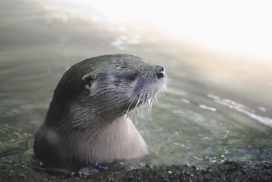 Otter at the Oregon Zoo. | Smithsonian Photo Contest ...