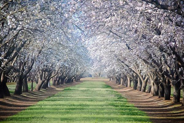 Almond Blossoms thumbnail