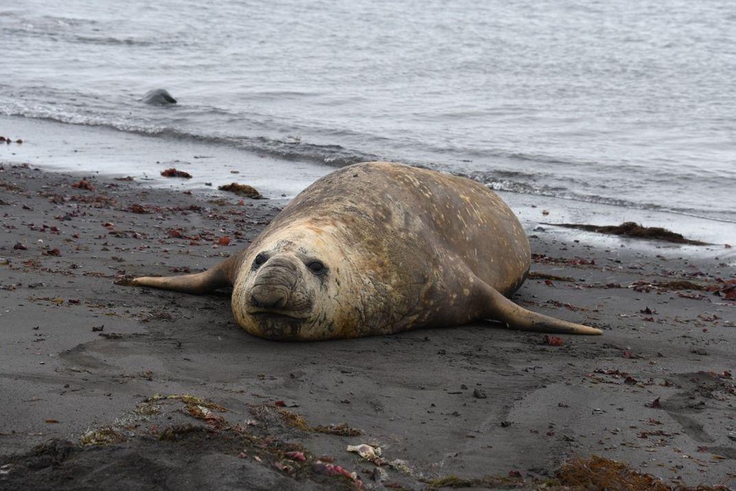 A seal on a muddy beach.