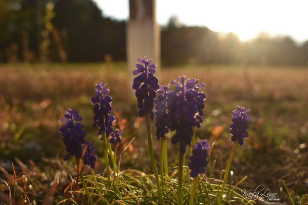 Purple flower sunset thumbnail