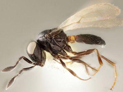 Female wasp of the newly described species Idris elba (holotype specimen).