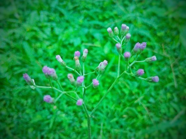 Kuppameniya flowers 💐 thumbnail