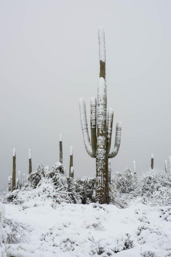 Snow Tipped Cacti thumbnail