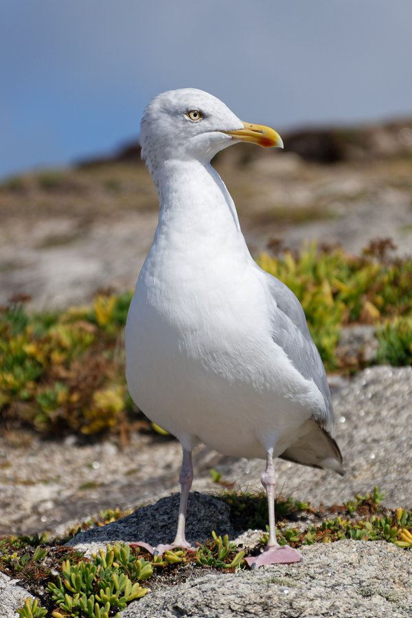 Adult herring gull thumbnail