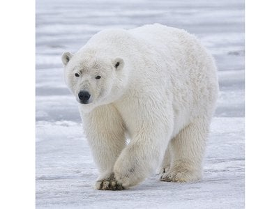 Dwindling sea ice in the Arctic threatens polar bears and causes increased conflict with humans.