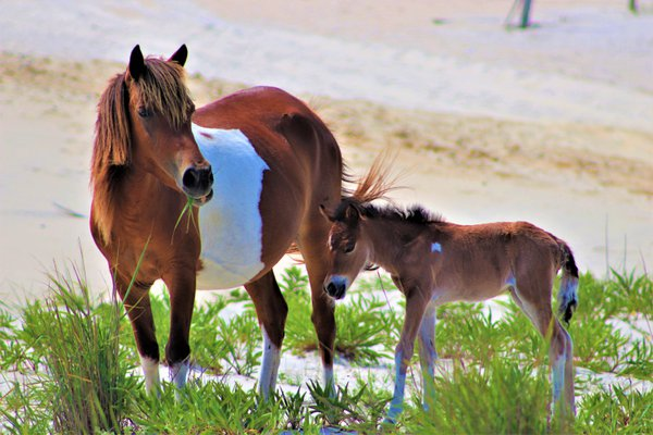 Wild Horse and foal on Assateague Island thumbnail