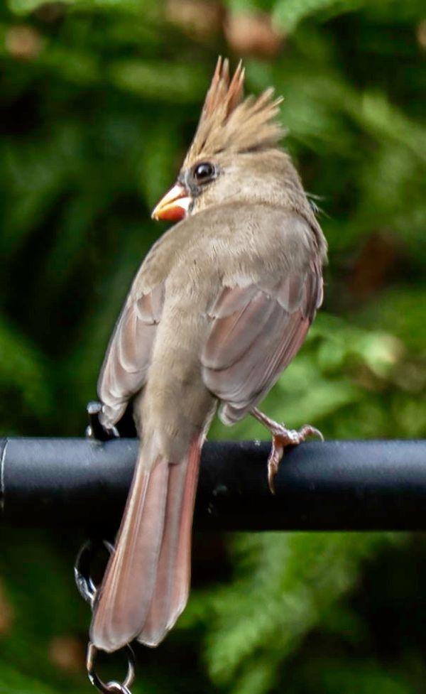 Female cardinal thumbnail