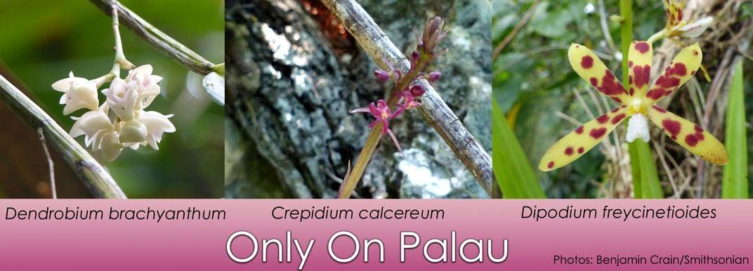 Three orchids found only on Palau (white Dendrobium brachyanthum, purple Crepidium calcereum, and Dipodium freycinetioides - yellow with red spots). Photos: Benjamin Crain/SERC