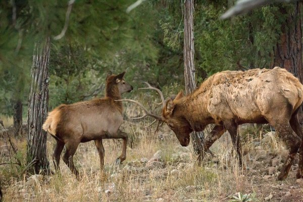 Bull Elk butts heads with youth elk thumbnail