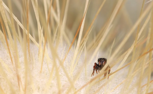 Jumping Spider on a Cactus thumbnail