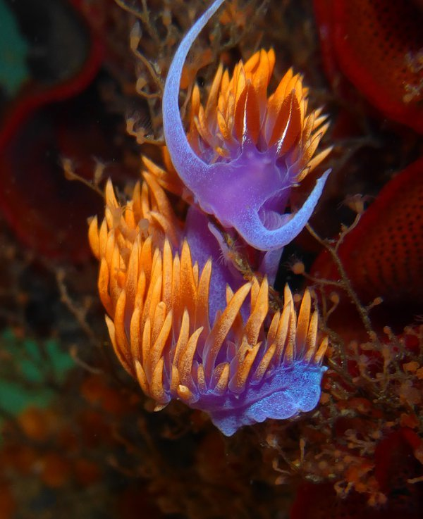 Spanish Shawl Nudibranch attacking Eudendrium hydroids thumbnail