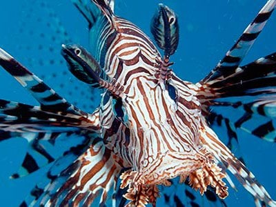 Unknown in the Americas 30 years ago, lionfish have multiplied at a rate that is almost unheard of in marine history.